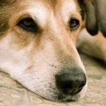 La pelade du chien