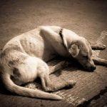 Amaigrissement du chien