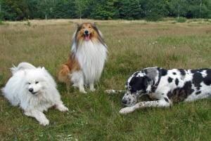 jouer avec plusieurs chiens
