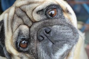 assurance chien pour carlin