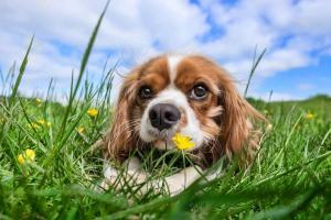 assurance chien pour cavalier king charles