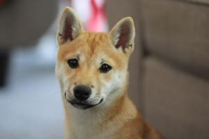 assurance chien pour shiba inu