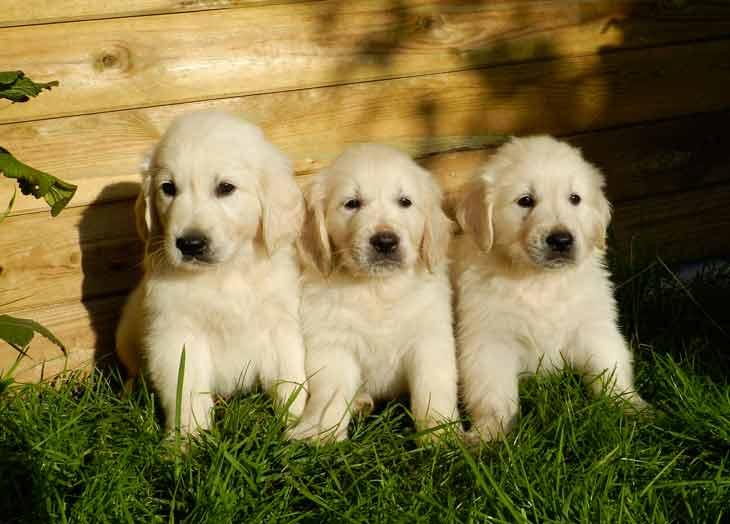 La cheyletiellose touche surtout les jeunes chiens vivant en communauté
