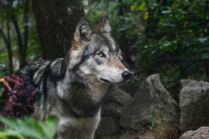 loup ou pas loup