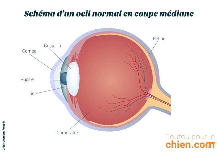 schéma d'un oeil en coupe médiane