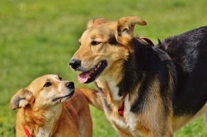 mon chien monte les autres chiens