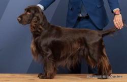 chien field spaniel