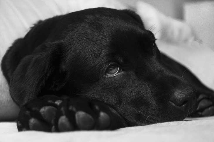 Un chien fiévreux