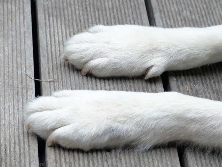 les griffes d'un chien