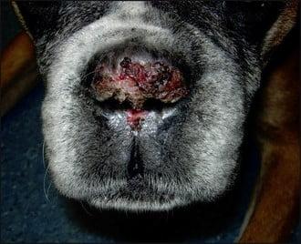 lupus cutané chez le chien