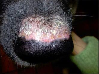 Le syndrome uvéo-cutané du chien