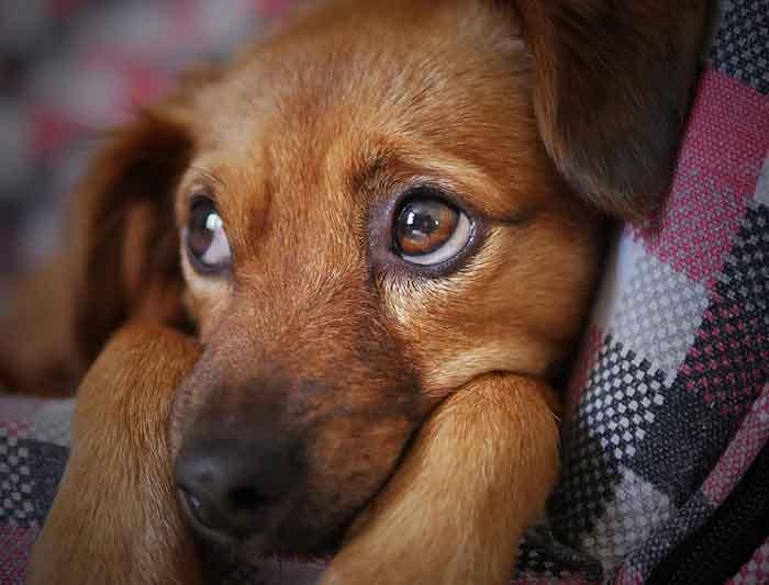 Dépression chez le chien : symptômes, causes et traitements