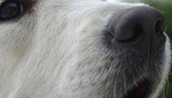 chien qui a le nez qui coule