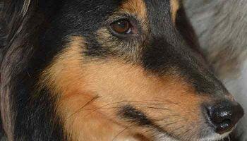 mon chien saigne du nez