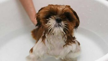 donner un bain à son chien