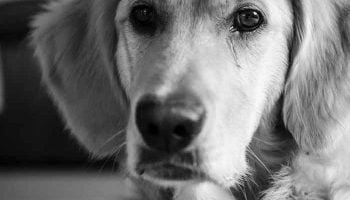 leishmaniose du chien