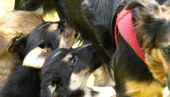Mammites de la chienne