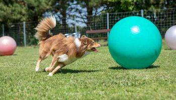 pratiquer le treibball avec son chien