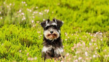 Les antiparasitaires naturels pour chien