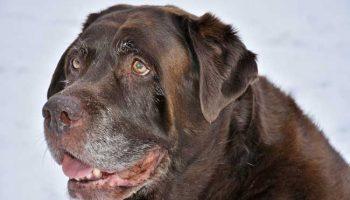Les chiens pagés ont des boules de graisse