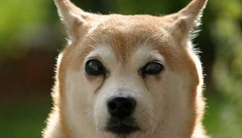 s'occuper d'un chien aveugle