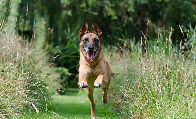 chien de berger malinois