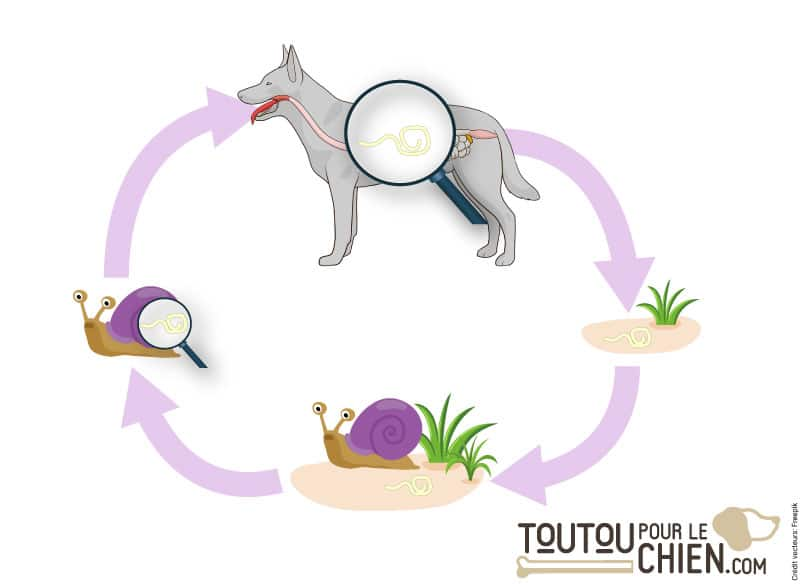 Le cycle de vie des strongles respiratoires du chien