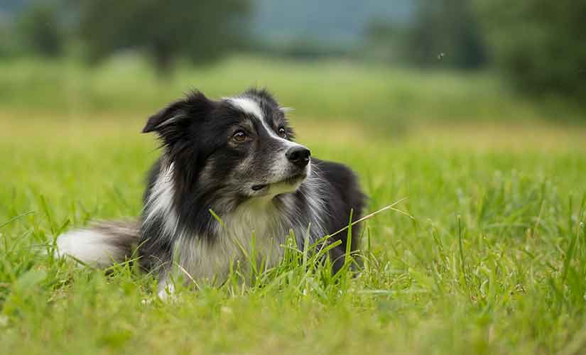 chien de berger border collie