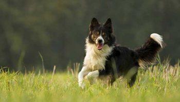 meilleures races de chien de berger