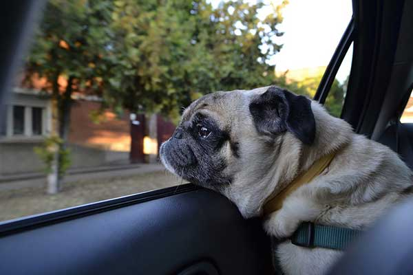 transporter son chien en voiture pr cautions et r glementations. Black Bedroom Furniture Sets. Home Design Ideas