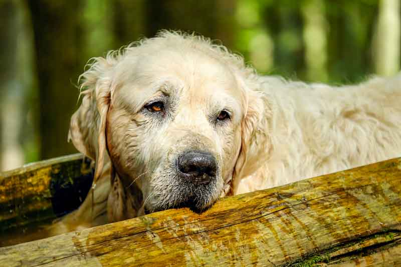 Les tumeurs de la rate chez le chien