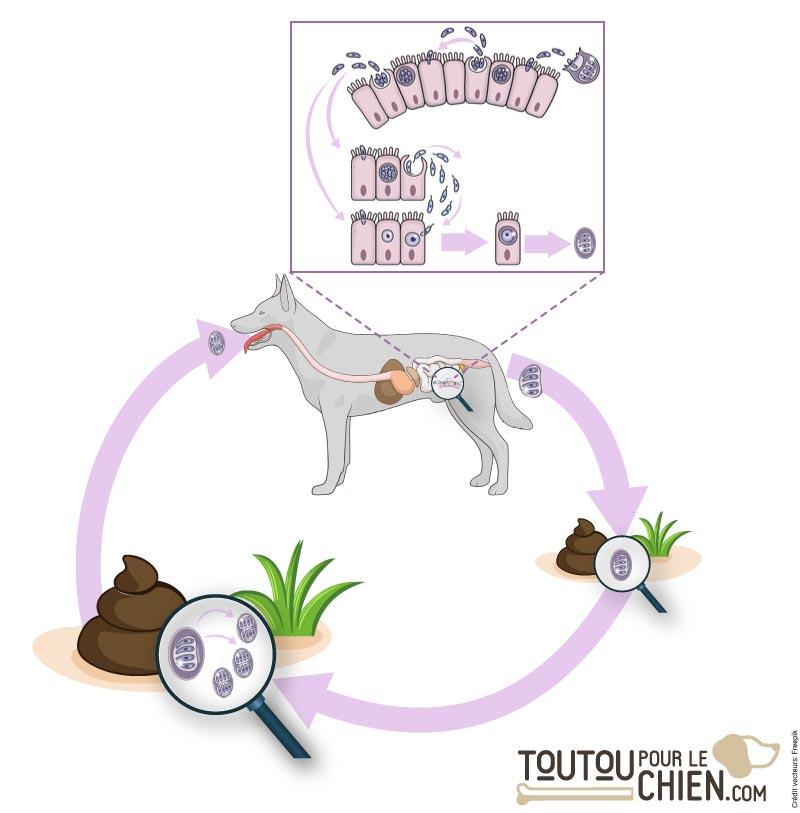 Le cycle de vie des coccidies