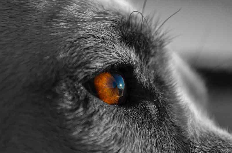 Oeil opaque du chien