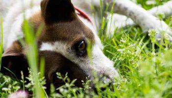 L'urticaire du chien