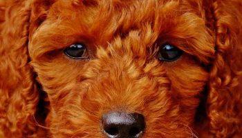 L'hépatite du chien