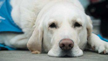 chien guide d'aveugle