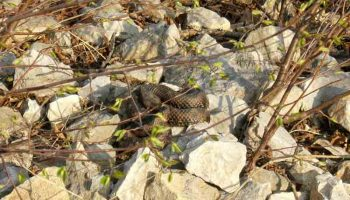 Morsure de serpent
