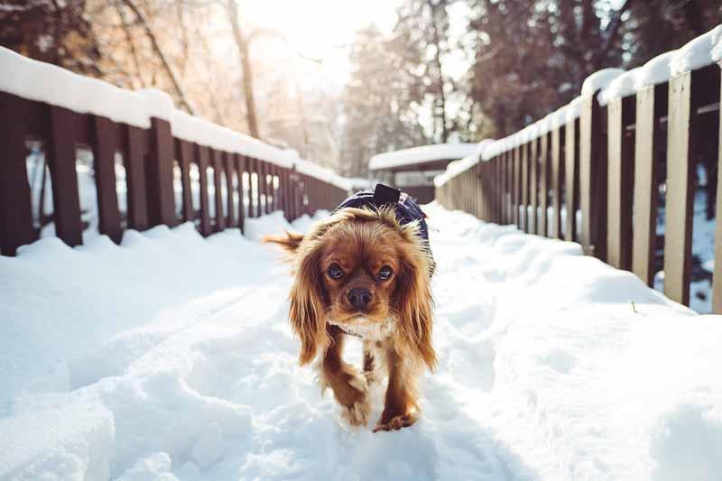 La résistance au froid du chien