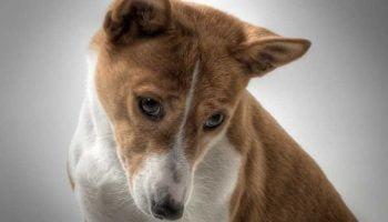 Le syndrome de Fanconi chez le chien