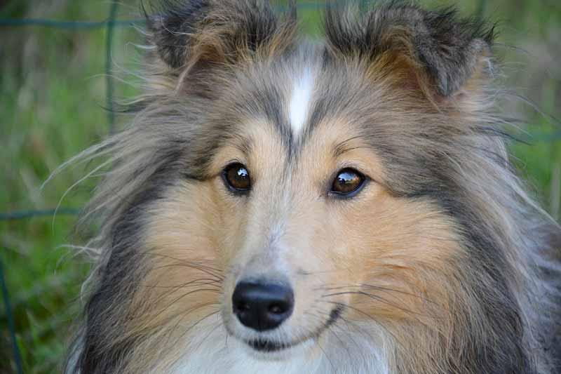 Comment diagnostiquer la gestation d'une chienne ?