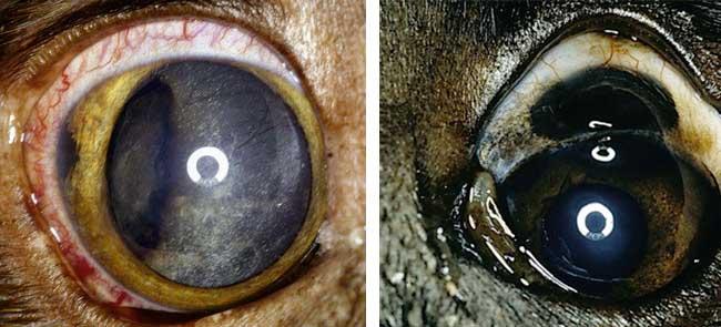 Mélanome de l'oeil chez le chien
